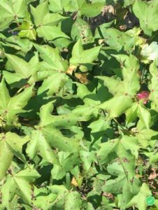 Cotton Leaf Spot